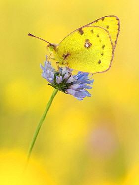 Pale Clouded Yellow (Colias hyale) butterfly on flower, Germany  -  Arik Siegel/ NIS