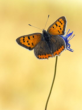 Small Copper (Lycaena phlaeas) butterfly on flower, Germany  -  Arik Siegel/ NIS