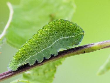 Scarce Swallowtail (Iphiclides podalirius) caterpillar in summer, Germany  -  Arik Siegel/ NIS