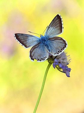Chalkhill Blue (Polyommatus coridon) butterfly on flower, Switzerland  -  Arik Siegel/ NIS