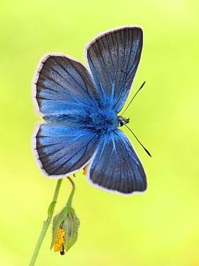 Damon Blue (Agrodiaetus damon) butterfly on flower, Switzerland  -  Arik Siegel/ NIS