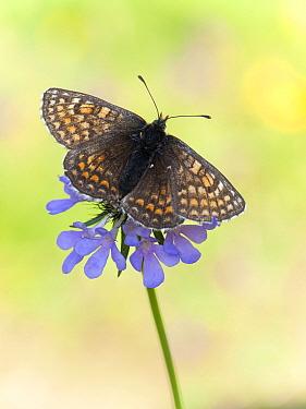Heath Fritillary (Melitaea athalia) butterfly on flower, Switzerland  -  Arik Siegel/ NIS