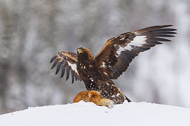 Golden Eagle (Aquila chrysaetos) landing on Red Fox (Vulpes vulpes) carcass at bait station, Flatanger, Norway  -  Peer von Wahl/ NIS