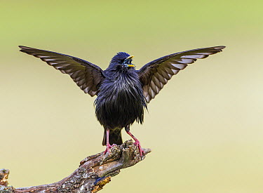 Spotless Starling (Sturnus unicolor) displaying, Estremadura, Spain  -  Peer von Wahl/ NIS