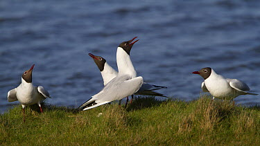Black-headed Gull (Larus ridibundus) group calling, Zeeland, Netherlands  -  Marc Gottenbos/ NIS