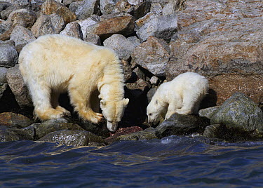 Polar Bear (Ursus maritimus) female and her cup feeding on whale carcass piece, Svalbard, Norway  -  Marc Gottenbos/ NIS