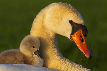 Mute Swan (Cygnus olor) parent carrying young, Noord-Holland, Netherlands  -  Jan Smit/ NIS