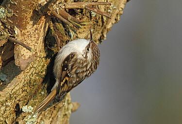 Short-toed Tree-Creeper (Certhia brachydactyla), Noord-Holland, Netherlands  -  Jan van Hooff/ NIS