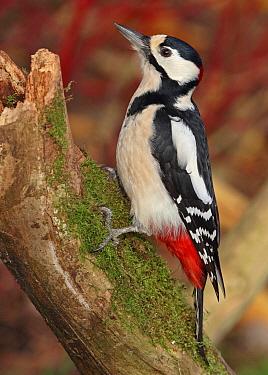 Great Spotted Woodpecker (Dendrocopos major), Noord-Holland, Netherlands  -  Jan van Hooff/ NIS