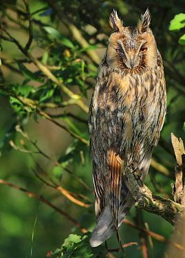 Long-eared Owl (Asio otus), Noord-Holland, Netherlands  -  Jan van Hooff/ NIS