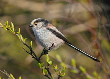 Long-tailed Tit (Aegithalos caudatus), Noord-Holland, Netherlands  -  Jan van Hooff/ NIS
