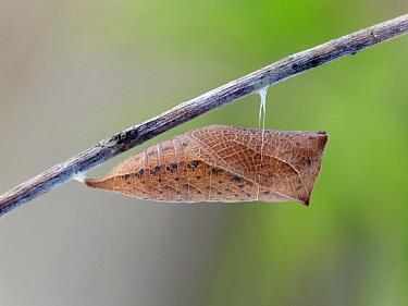 Scarce Swallowtail (Iphiclides podalirius) butterfly chrysalis in winter, Germany  -  Arik Siegel/ NIS