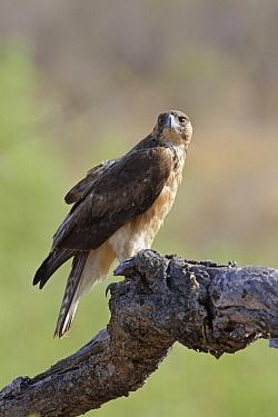 African Hawk-Eagle (Hieraaetus spilogaster), Kruger National Park, South Africa  -  Ronald Kamphius/ NIS