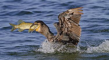 Great Cormorant (Phalacrocorax carbo) catching pike, Overijssel, Netherlands  -  Ronald Kamphius/ NIS