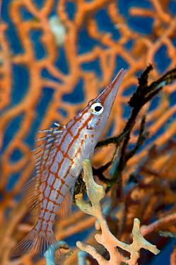 Longnose Hawkfish (Oxycirrhites typus) on coral, Red Sea, Egypt  -  Dray van Beeck/ NiS