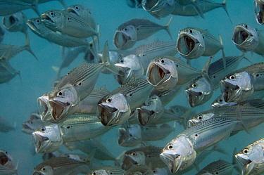 Long-jawed Mackerel (Rastrelliger kanagurta) school foraging, Red Sea, Egypt  -  Dray van Beeck/ NiS