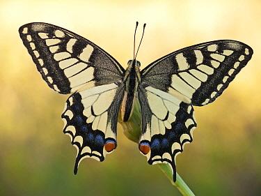 Oldworld Swallowtail (Papilio machaon) butterfly on flower, Italy  -  Arik Siegel/ NIS
