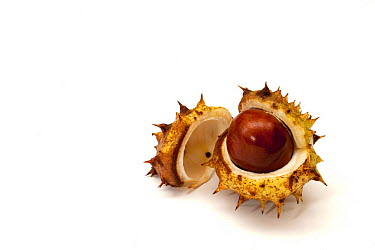 Horse Chestnut (Aesculus hippocastanum) fruit, Hampshire, England, United Kingdom  -  Matt Doggett/ NIS