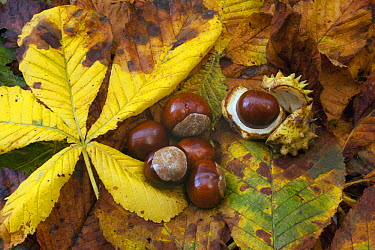 Horse Chestnut (Aesculus hippocastanum) fruit and leaves, Hampshire, England, United Kingdom  -  Matt Doggett/ NIS