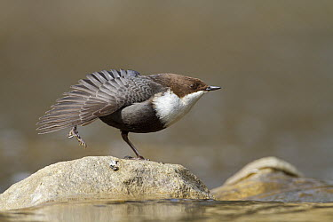 White-throated Dipper (Cinclus cinclus) stretching, Gelderland, Netherlands  -  Ronald Kamphius/ NIS
