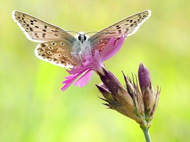 Chalkhill Blue (Polyommatus coridon) butterfly on flower, Hessen, Germany  -  Arik Siegel/ NIS
