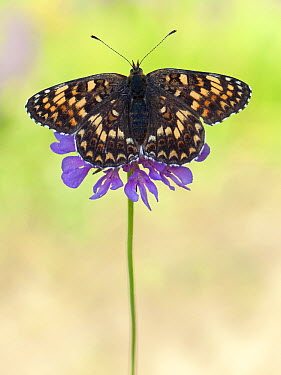 Knapweed Fritillary (Melitaea phoebe) butterfly on flower, Valais, Switzerland  -  Arik Siegel/ NIS