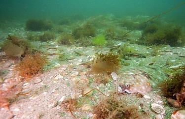 European Plaice (Pleuronectes platessa) camouflaged on seafloor, Cornwall, England, United Kingdom  -  Matt Doggett/ NIS