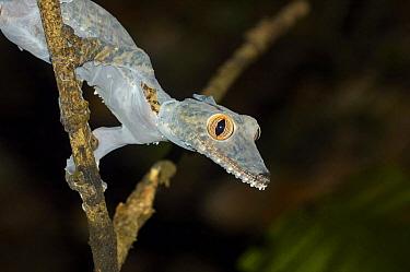 Common Flat-tail Gecko (Uroplatus fimbriatus) shedding skin, Madagascar  -  Wisse van Heusden/ NIS