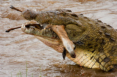 Nile Crocodile (Crocodylus niloticus) feeding on Thomson's Gazelle (Eudorcas thomsonii) carcass, Mara River, Masai Mara, Kenya  -  Federico Veronesi/ NIS