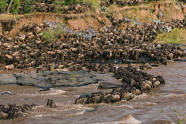 Blue Wildebeest (Connochaetes taurinus) and Common Zebra (Equus quagga) herd crossing river, Mara River, Masai Mara, Kenya  -  Federico Veronesi/ NIS