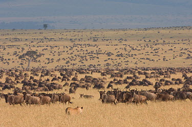 African Lion (Panthera leo) female approaching large herd of Blue Wildebeest (Connochaetes taurinus), Masai Mara, Kenya  -  Federico Veronesi/ NIS
