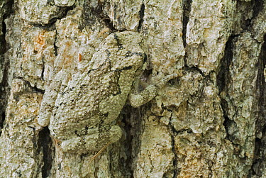 Gray Tree Frog (Hyla versicolor) camouflaged against tree bark, South Carolina  -  Clay Bolt/ NIS