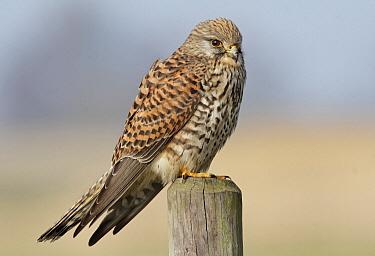 Eurasian Kestrel (Falco tinnunculus), Noord-Holland, Netherlands  -  Jan van Hooff/ NIS