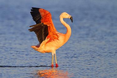 Chilean Flamingo (Phoenicopterus chilensis) stretching, Gelderland, Netherlands  -  Ronald Kamphius/ NIS