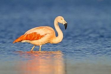 Chilean Flamingo (Phoenicopterus chilensis), Gelderland, Netherlands  -  Ronald Kamphius/ NIS