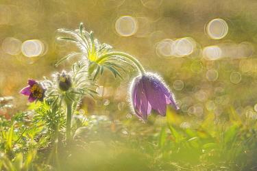 Dane's Blood (Pulsatilla vulgaris) flower, Germany  -  Arik Siegel/ NIS