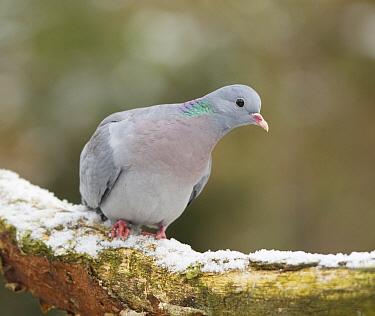 Stock Dove (Columba oenas), Drenthe, Netherlands  -  Edo van Uchelen/ NiS