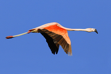 Chilean Flamingo (Phoenicopterus chilensis) flying, Buenos Aires, Argentina  -  Agustin Esmoris