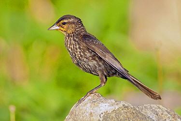 Red-winged Blackbird (Agelaius phoeniceus), Montreal, Quebec, Canada  -  Agustin Esmoris