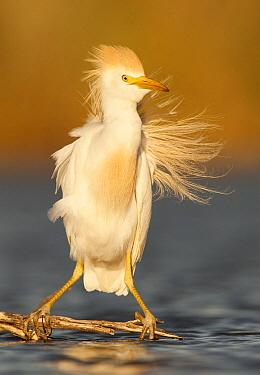 Cattle Egret (Bubulcus ibis), Buenos Aires, Argentina  -  Agustin Esmoris