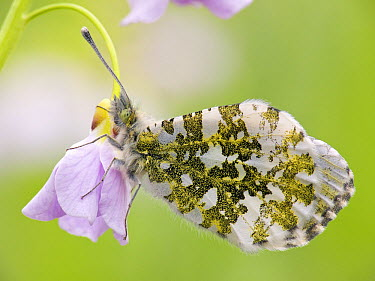 Orange Tip (Anthocharis cardamines) butterfly on flower, Hessen, Germany  -  Arik Siegel/ NIS