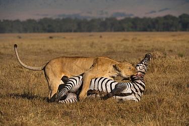 African Lion (Panthera leo) female killing Common Zebra (Equus quagga), Masai Mara, Kenya  -  Federico Veronesi/ NIS