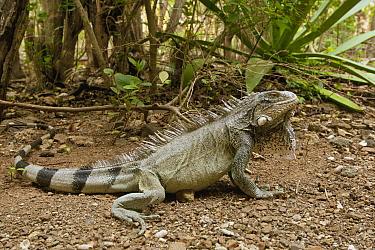 Green Iguana (Iguana iguana) in forest, Curacao, Netherlands Antilles, Carribbean  -  Henkjan Kievit/ NIS