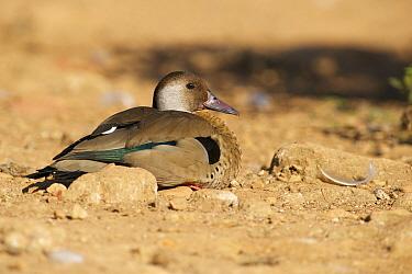 Brazilian Teal (Amazonetta brasiliensis) duck, Sao Paulo, Brazil  -  Hans Overduin/ NIS
