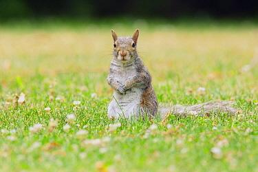Eastern Gray Squirrel (Sciurus carolinensis), Montreal, Quebec, Canada  -  Agustin Esmoris
