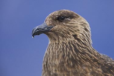 Great Skua (Catharacta skua), Iceland  -  Hans Overduin/ NIS