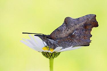 Nettle-tree Butterfly (Libythea celtis) on flower, Germany  -  Arik Siegel/ NIS