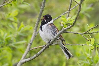 Reed Bunting (Emberiza schoeniclus) male calling, Friesland, Netherlands  -  Edwin Rem/ NIS