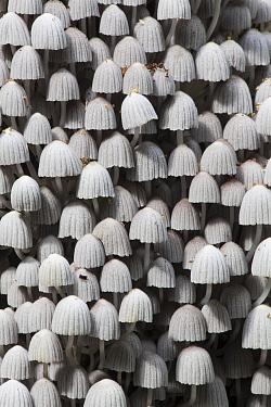 Trooping Crumble Cap Fungus (Coprinellus disseminatus) mushrooms, Los Amigos Conservation Concession, Peru  -  Gabby Salazar/ NIS