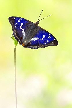 Purple Emperor (Apatura iris) butterfly on flower, Hessen, Germany  -  Arik Siegel/ NIS